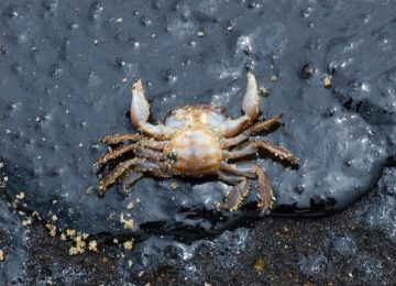 crab killed by oil pollution on beach