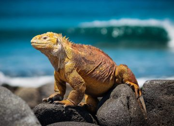 iguana-3500924_1920